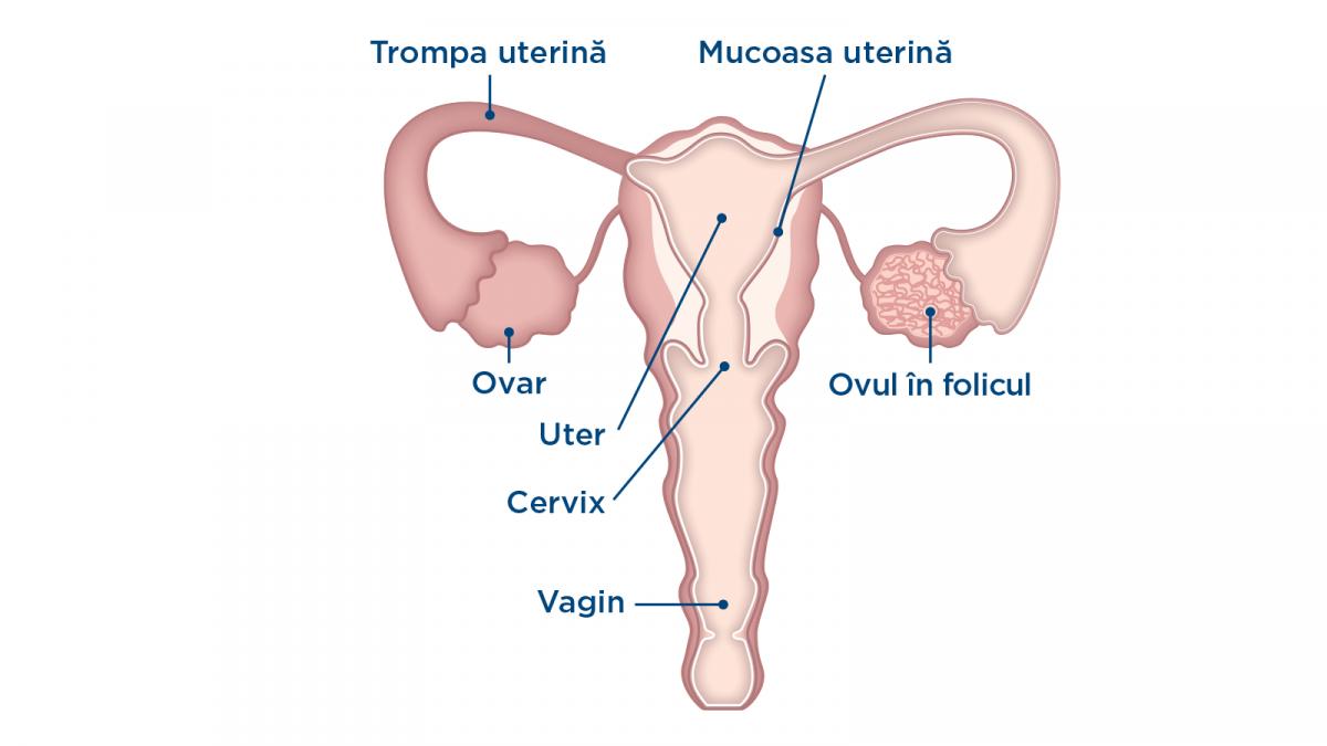 ovulația în timpul unei erecții reacția fetei la erecția unui tip